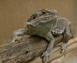 schemes-lizard